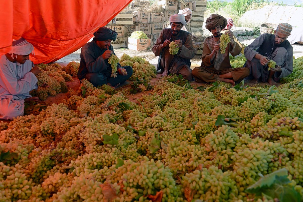 afghanistan main export grapes