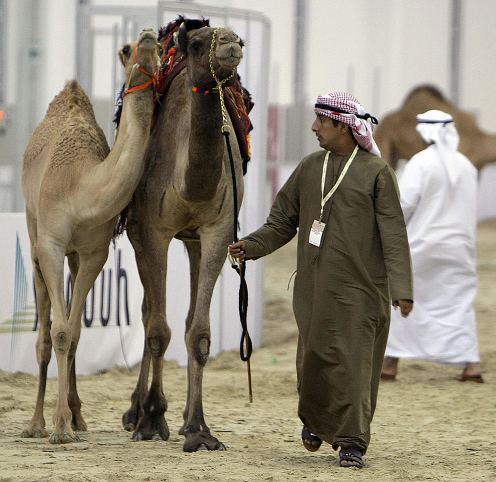 camel An Emirati man parades with two camels, which have been bought by Sheikh Hamdan bin Mohammed bin Rashid al-Maktoum for six million dirhams