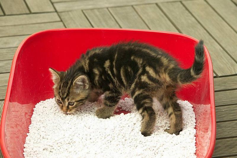 brown tabby kitten in litter tray.